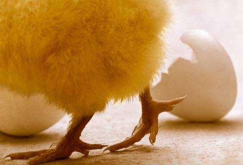 السالمونيلا: الدجاج والبيض