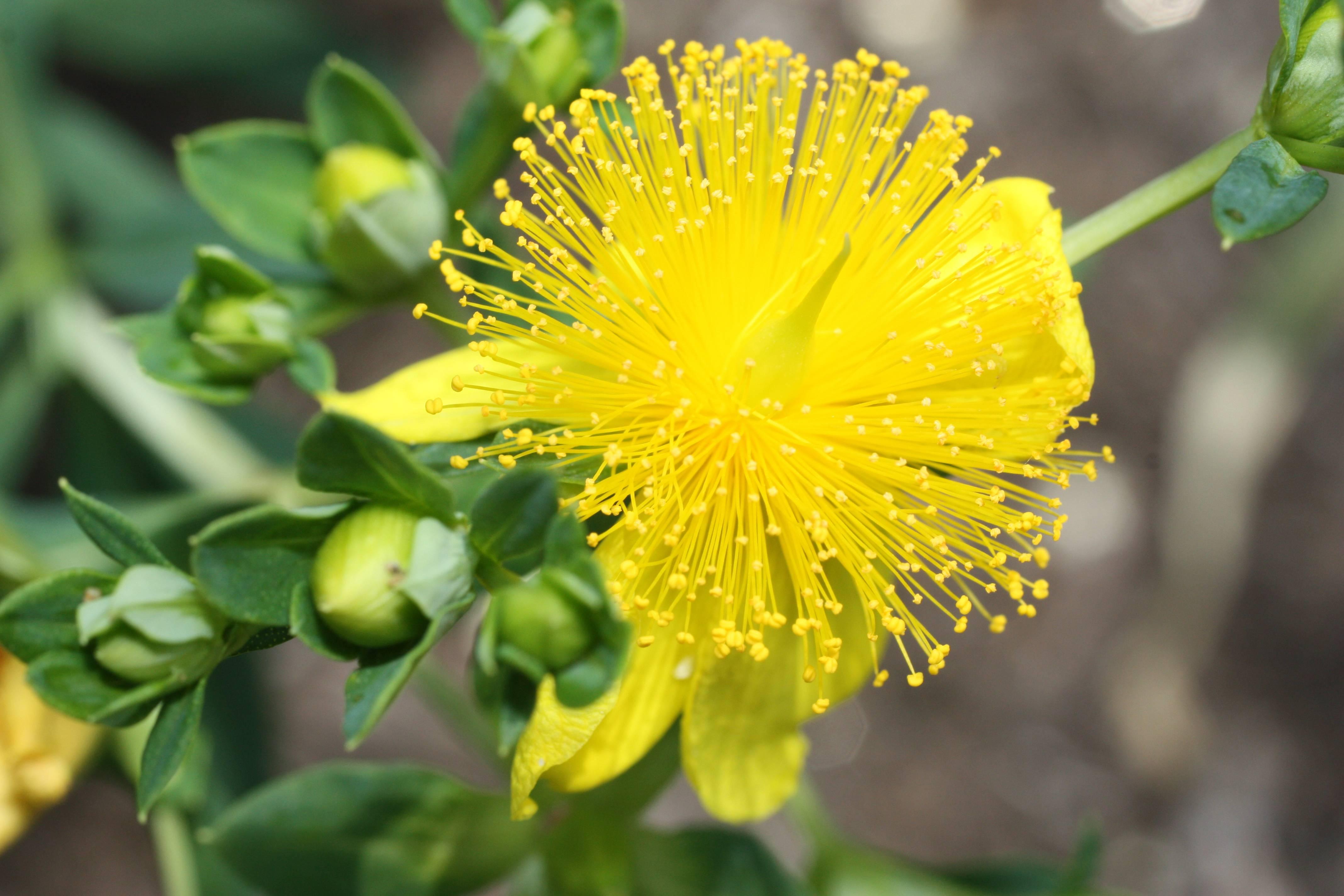 نبات سانت جون