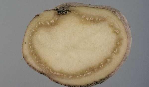 العفن الحلقي أو العفن البني في البطاطس